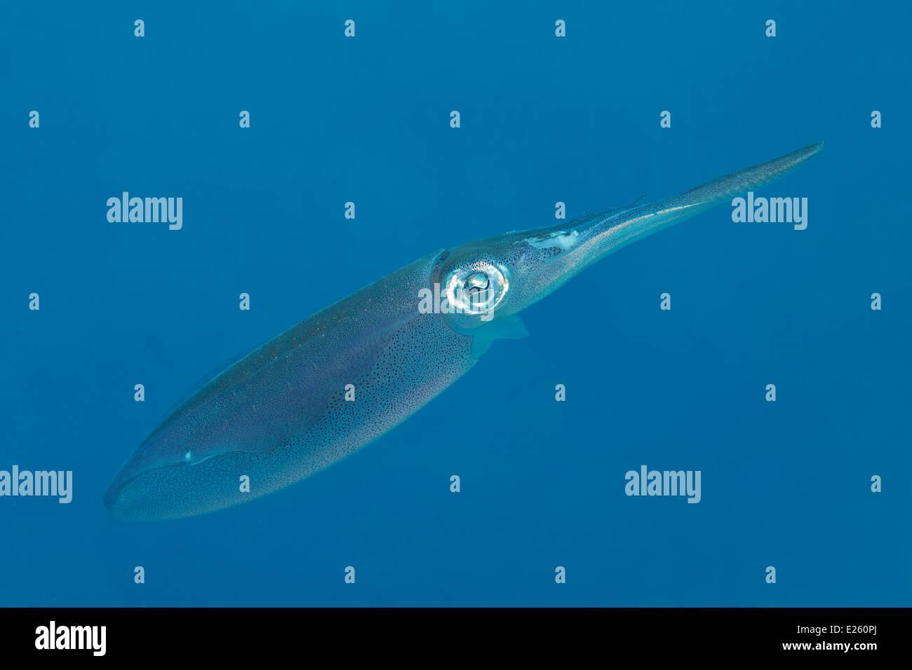 Tintenfisch in der Karibik auf Bonaire. Stockbild