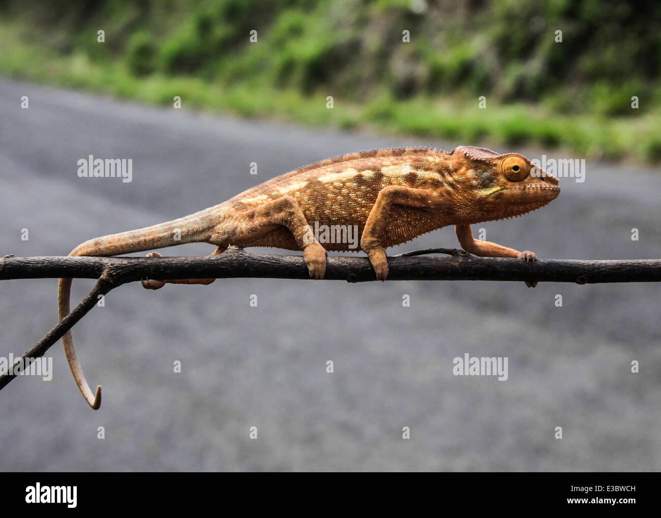 Afrika, Madagaskar, Pantherchamäleon (Furcifer Pardalis) Stockbild