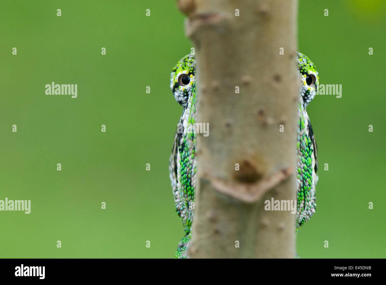 Oustalet Chamäleon (Furcifer Oustaleti) Augen sichtbar entweder Seite des Ortsverbandes ist es auf Madagaskar Stockbild