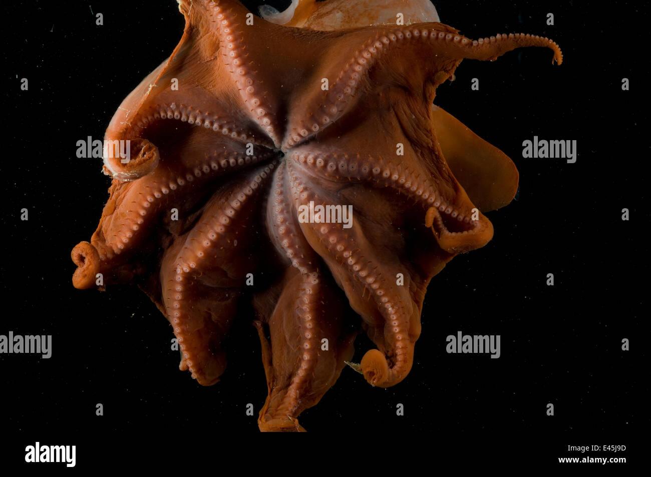 Blick in den Mantel der Deepsea Octopod {Grimpoteuthis Discoveryi} Mid-Atlantic Ridge, Nord-Atlantik Stockbild