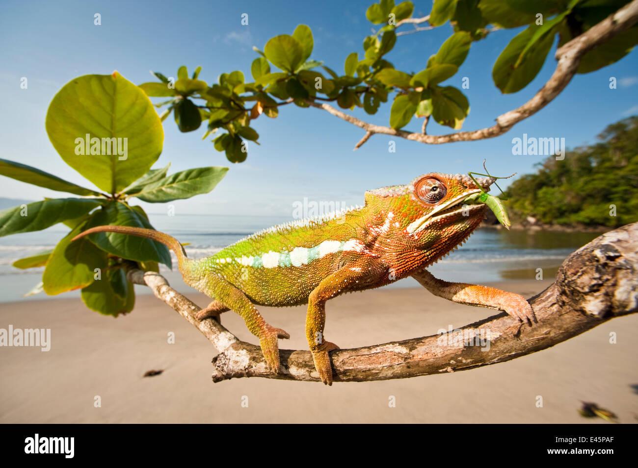 Männliche Pantherchamäleon (Furcifer Pardalis) Fütterung auf Preying Mantis in Seite Strandvegetation. Stockbild