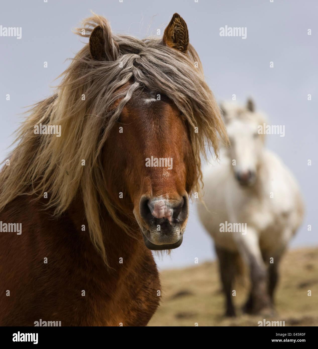Kopfporträt einer Classic-Pony-Hengst (Equus Caballus) und eines seiner Stuten in der Auvergne, Frankreich. Stockbild