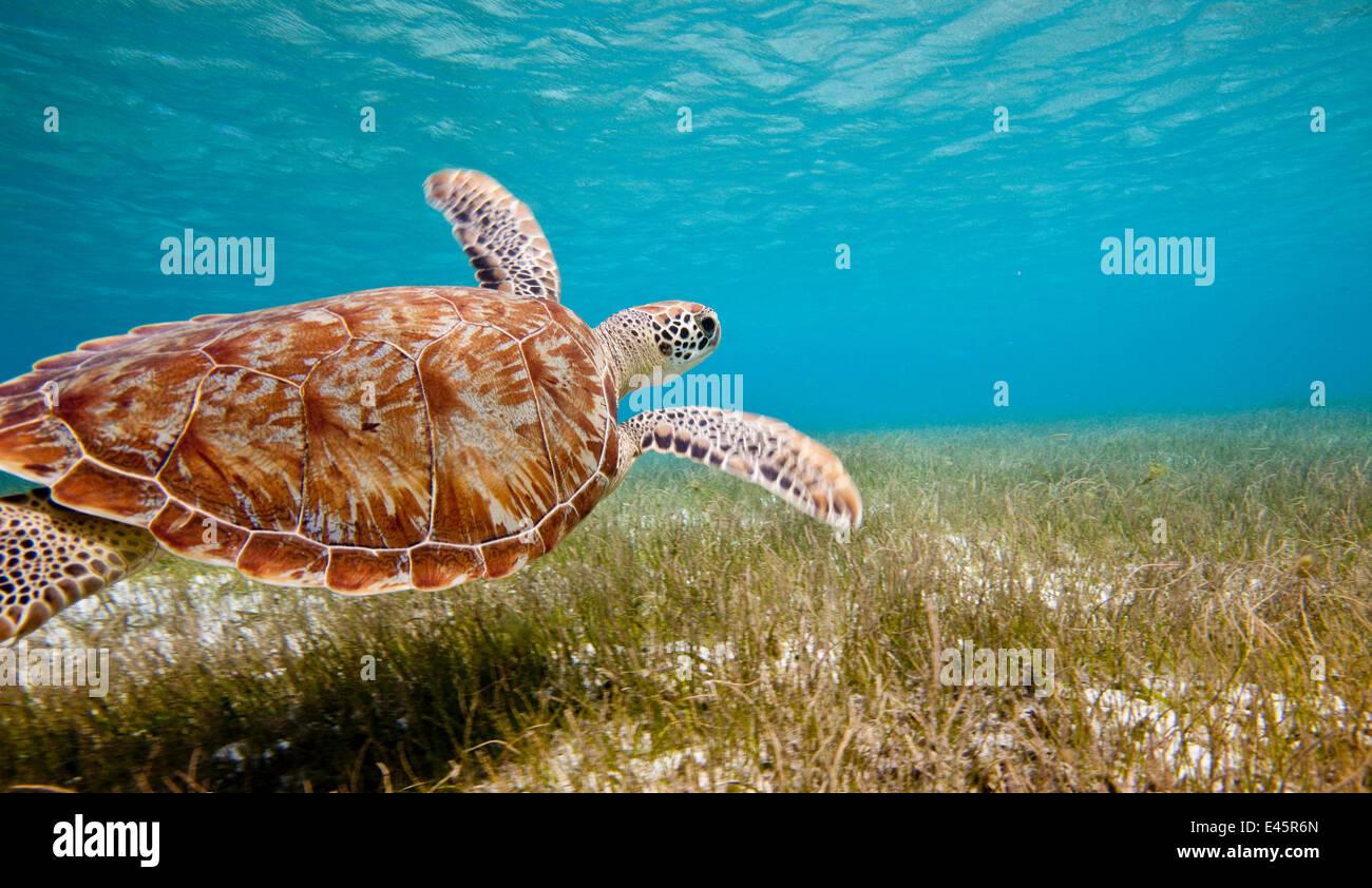 Suppenschildkröte (Chelonia Mydas) über Meer schwimmen grass, Grenadinen, Karibik, Februar 2010. Stockbild