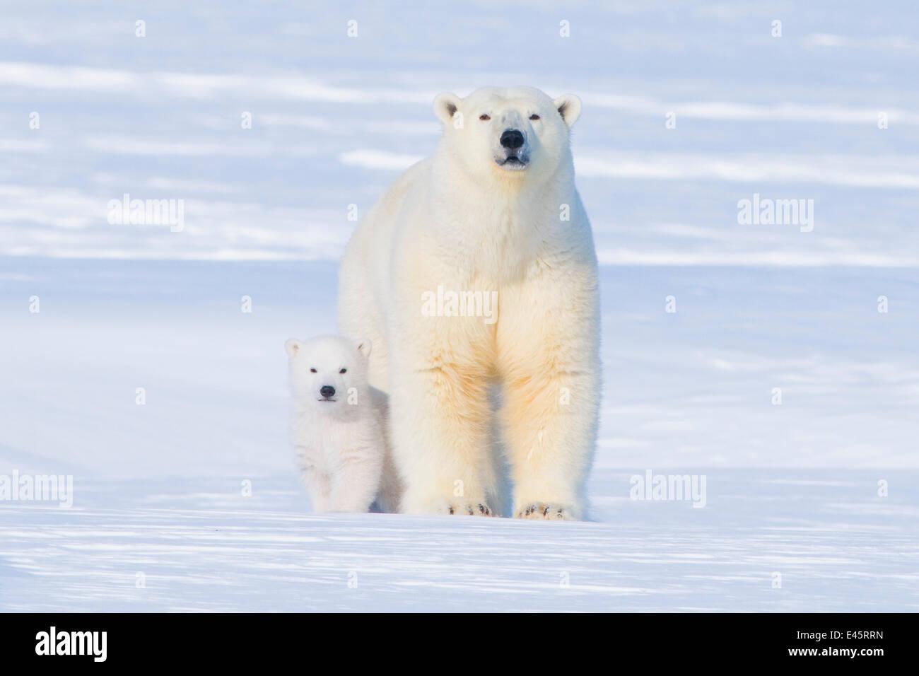 Eisbär (Ursus Maritimus) säen mit ihr junges außerhalb ihrer Höhle im Spätwinter, arktischen Stockbild