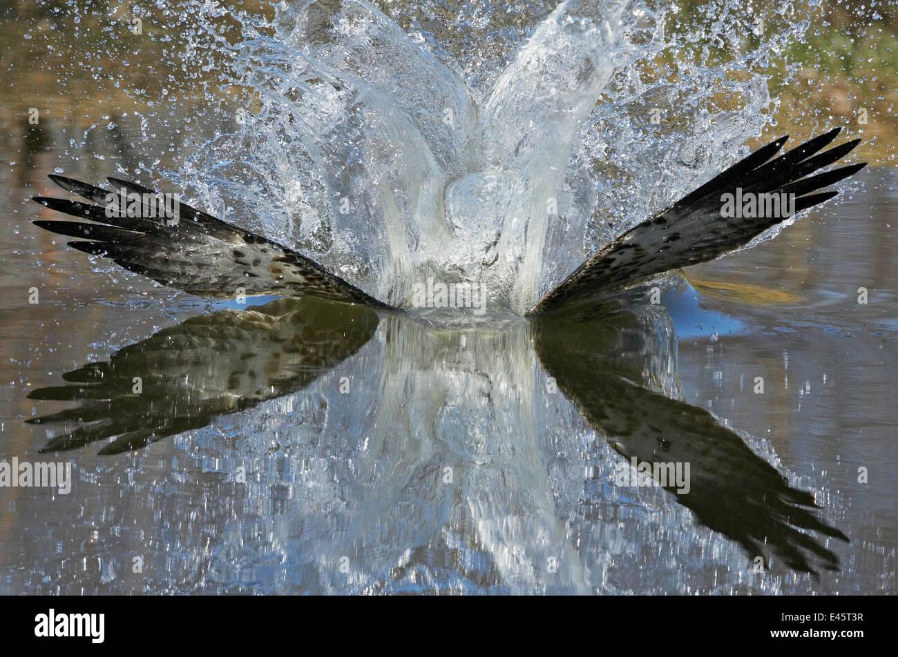 Fischadler (Pandion Haliaetus) auf der Oberfläche des Sees, während der Jagd nach Fischen, Kangasala, Stockbild