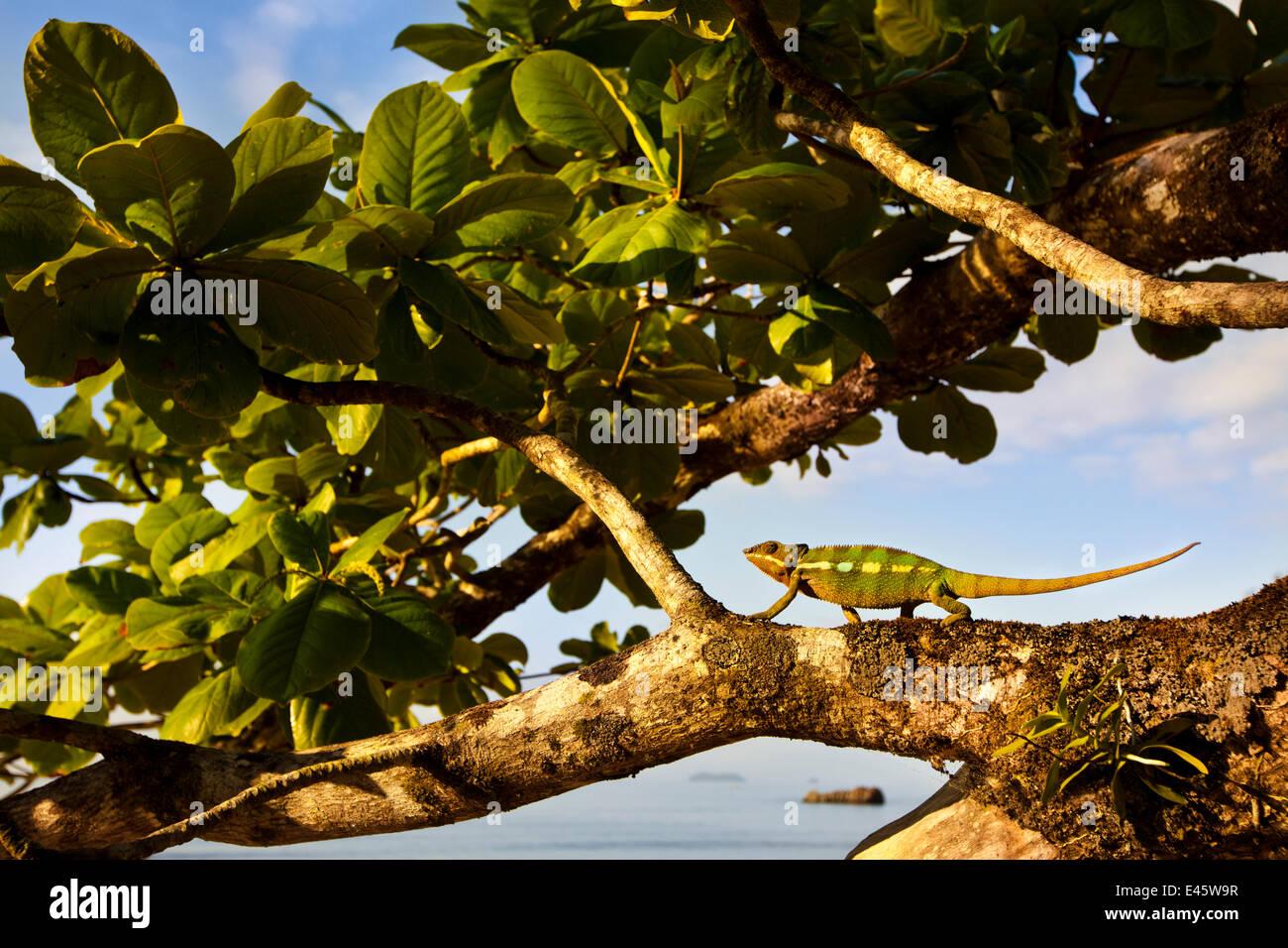 Pantherchamäleon {Furcifer Pardalis} entlang Filiale am Küste, Nationalpark Masoala Halbinsel, Nord Osten Stockbild