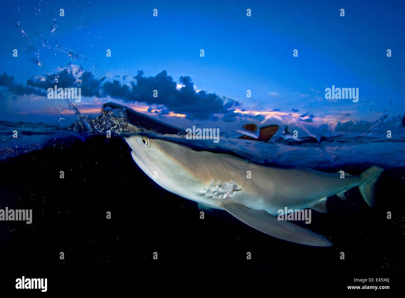 Split-Level Bild der Karibik Riff Hai (Carcharhinus Perezi) brechen Oberfläche in der Abenddämmerung. Stockbild