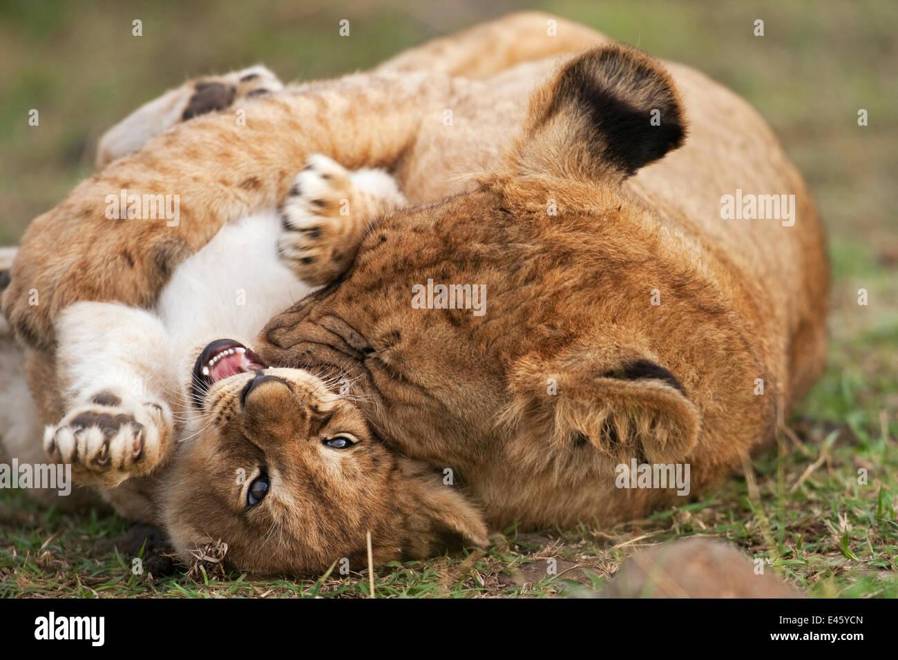Löwenjunges (Panthera Leo), im Alter von 7 Monaten, Mobbing eine jüngere Jungtier im Alter von 2 bis 3 Stockbild