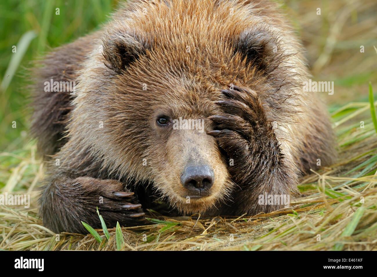 Porträt von einem Grizzlybär (Ursus Arctos) Cub mit Pfote über Gesicht. Katmai, Alaska, USA, September. Stockbild