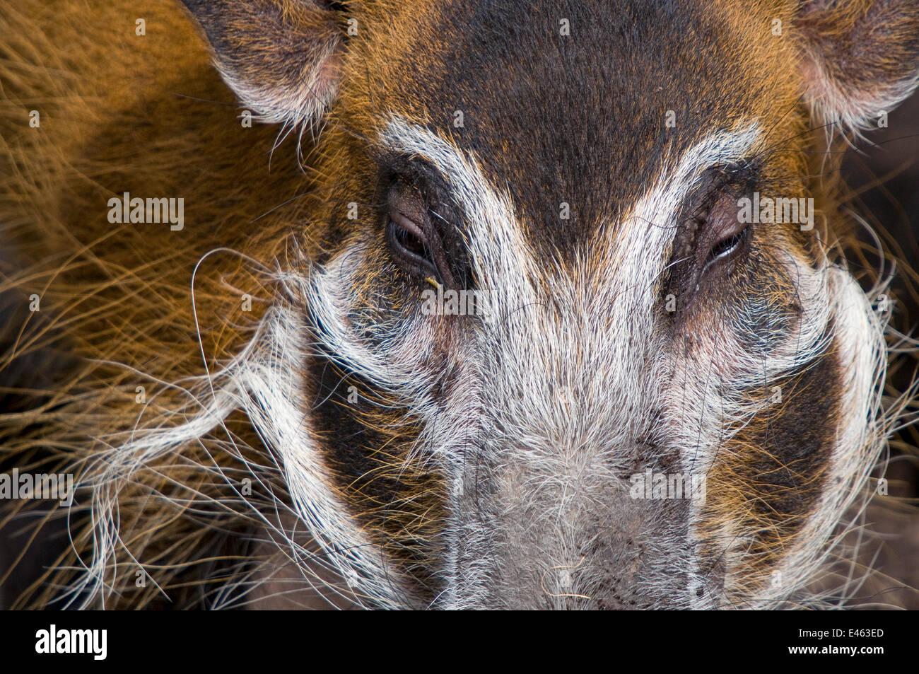 Red River Hog (Potamochoerus Porcus) Nahaufnahme des Kopfes, gefangen Stockbild
