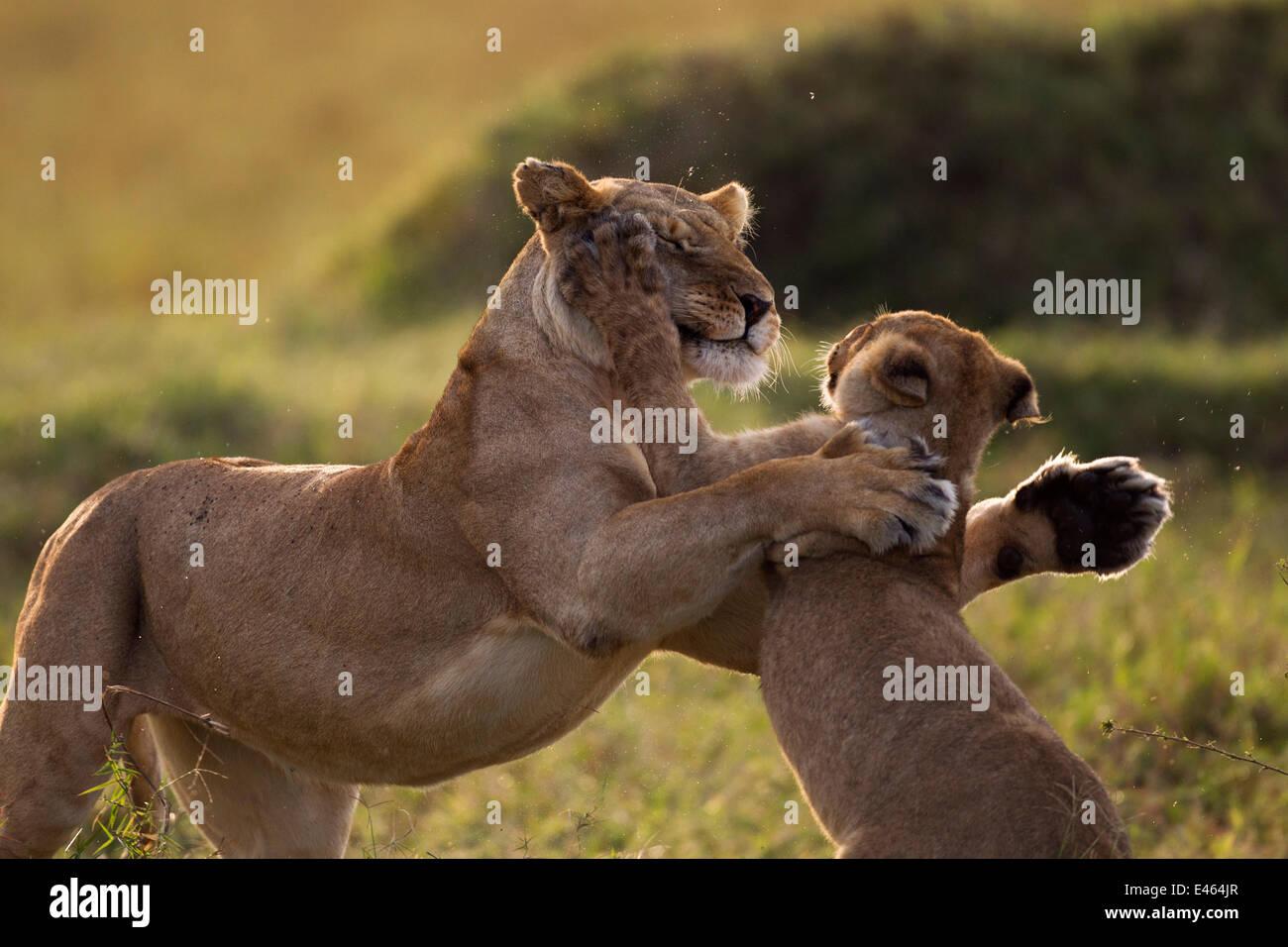 Löwin (Panthera Leo) spielt mit einem jungen im Alter von 9 bis 12 Monaten, Masai Mara National Reserve, Kenia, Stockbild