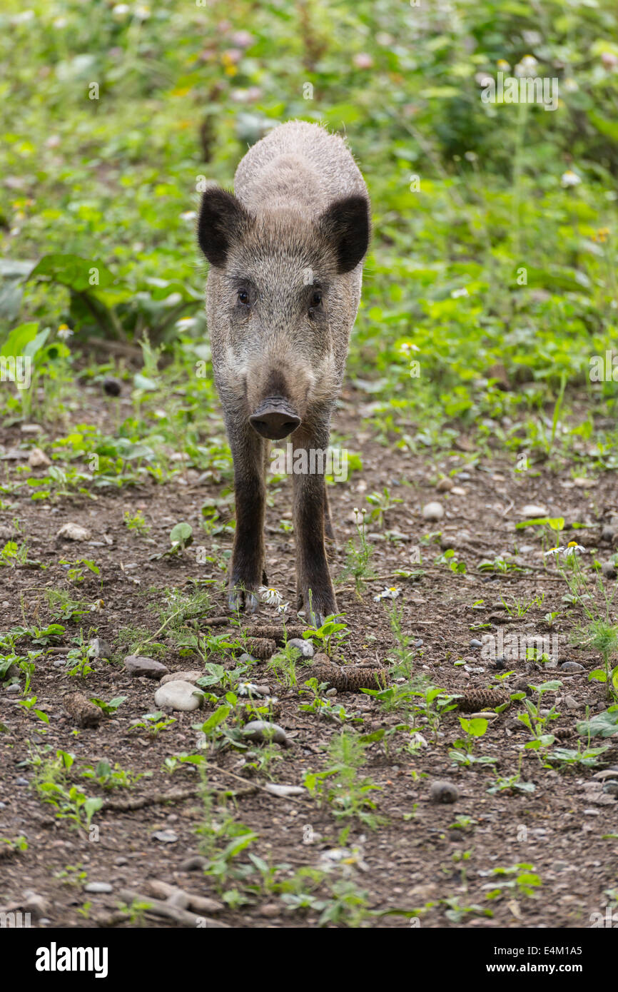 Junges Wildschwein mit neugierigen Blick in die Kamera Stockbild