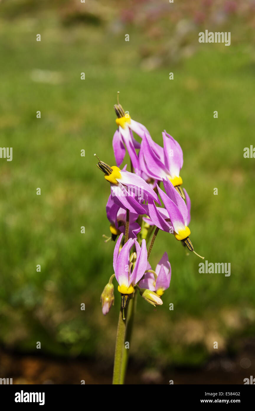 Sierra Shootingstar wilde Blumen wachsen in den Sierra Nevada Bergen Stockbild