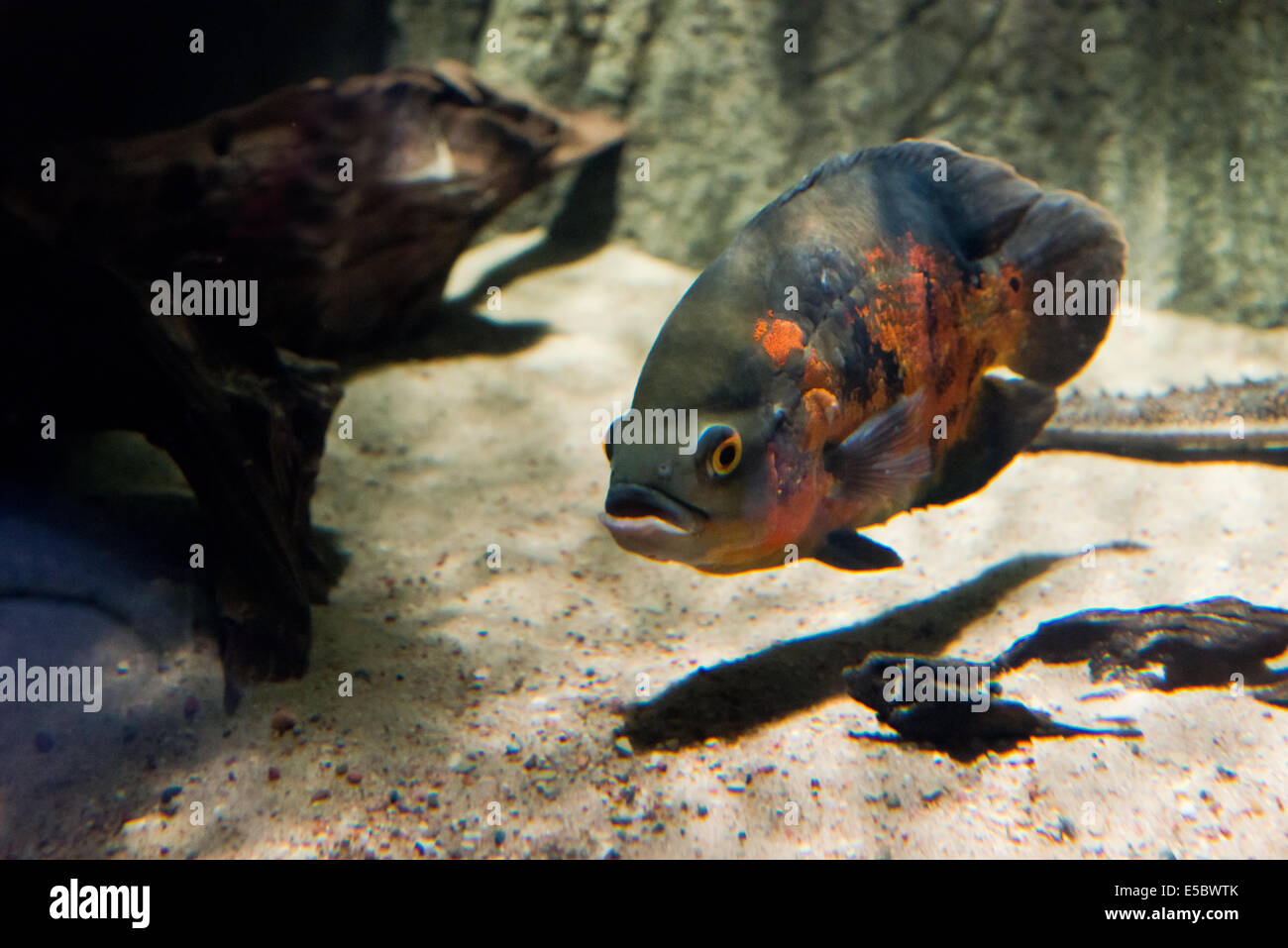Oscar Fish - Astronotus ocellatus Stockbild