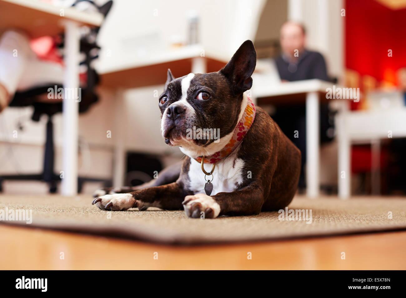 Porträt von neugierigen Hund liegend auf Teppich in einem Büro Stockbild