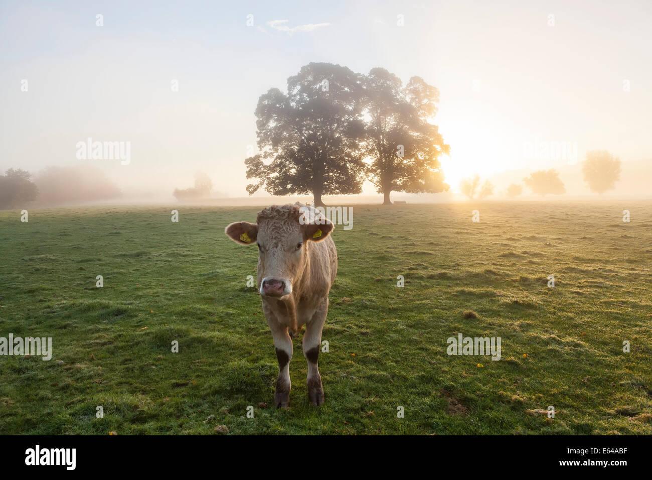 Kuh im Feld, Sonnenaufgang, Usk Valley, South Wales, UK Stockbild