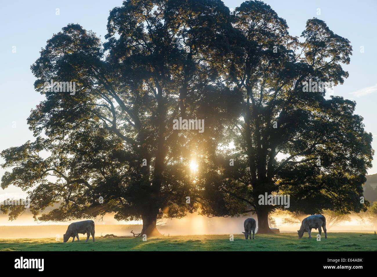 Kühe im Feld, Sonnenaufgang, Usk Valley, South Wales, UK Stockbild