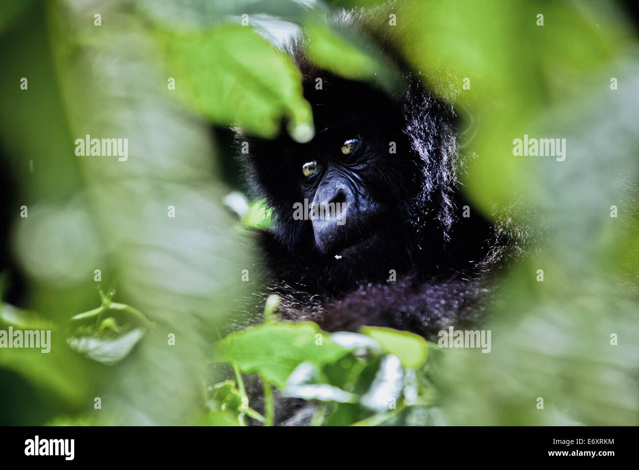 Junge Berggorilla, versteckt im grünen Blätter, Volcanoes-Nationalpark, Ruanda, Afrika Stockbild