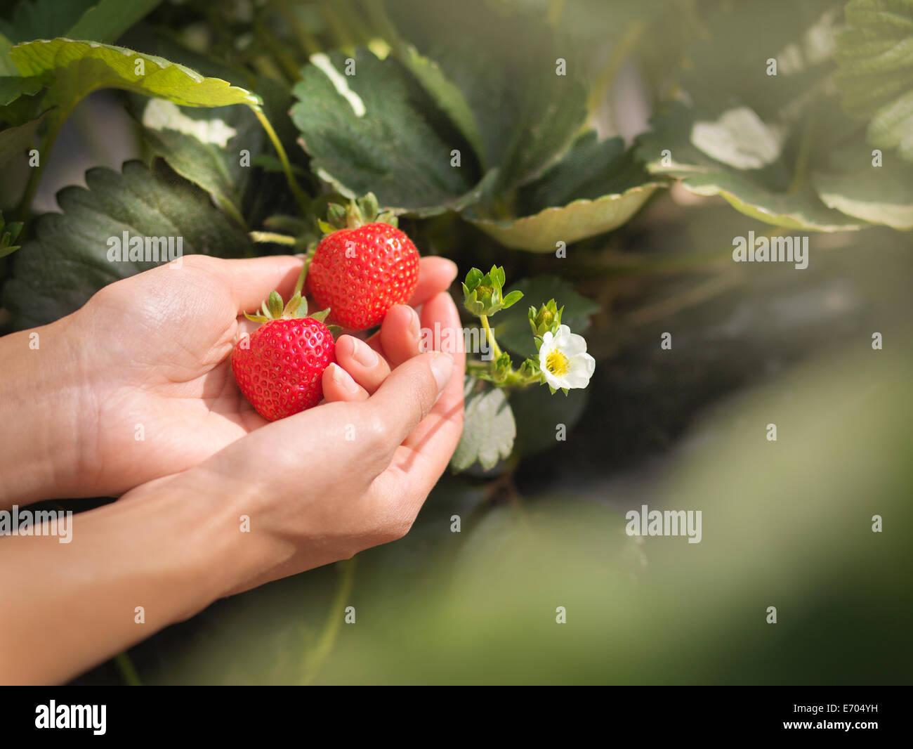 Nahaufnahme von Händen mit Erdbeeren auf Obsthof Stockbild