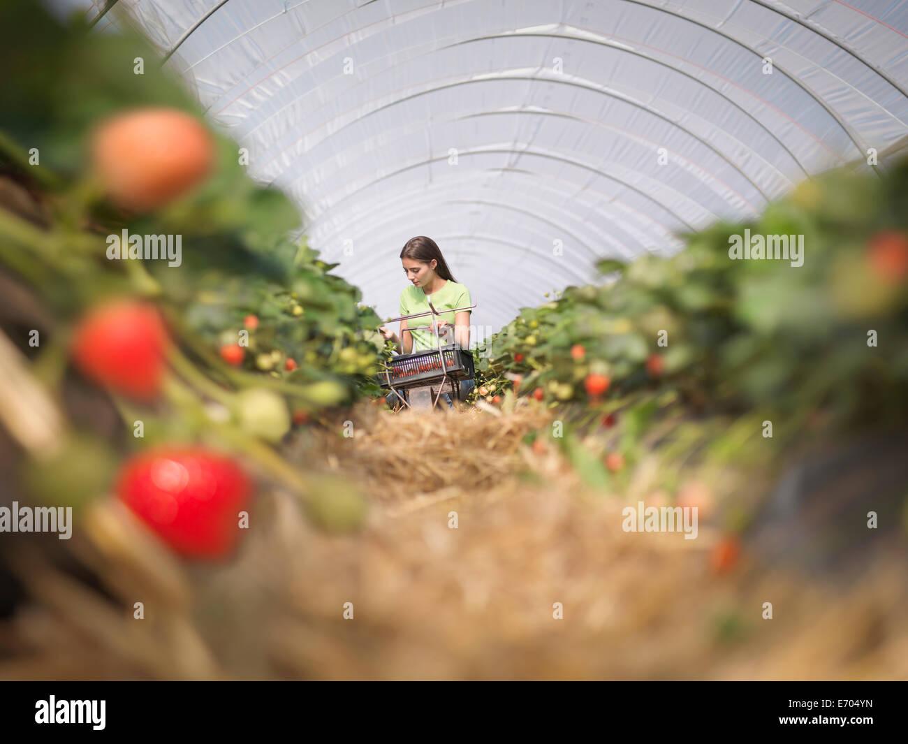 Arbeiter im Obsthof Erdbeeren pflücken Stockbild