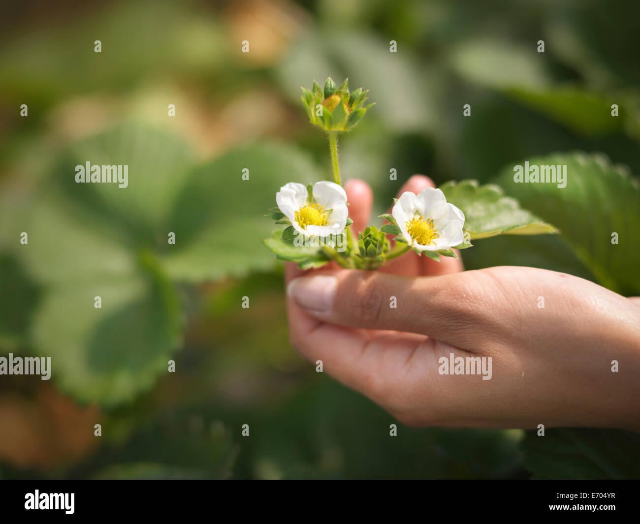 Nahaufnahme von Hände halten Erdbeere Blumen im Obsthof Stockbild