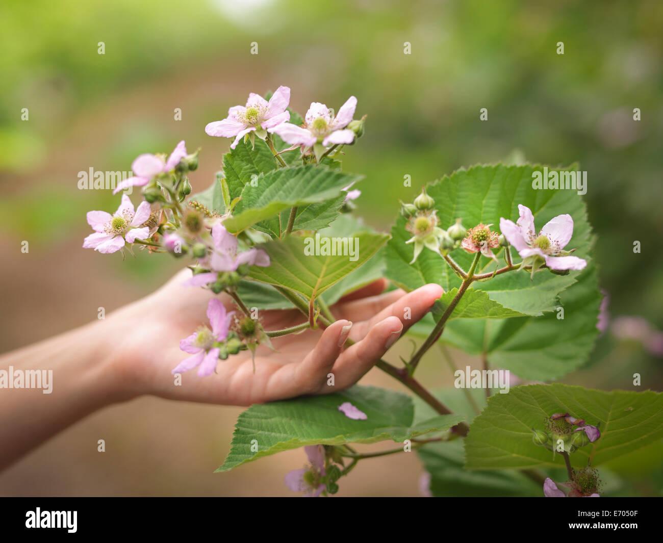Hand halten Blackberry Blumen am Obsthof, Nahaufnahme Stockbild