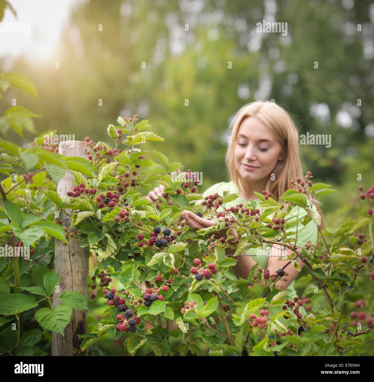 Arbeiten, die Kommissionierung Brombeeren auf Obsthof Stockbild