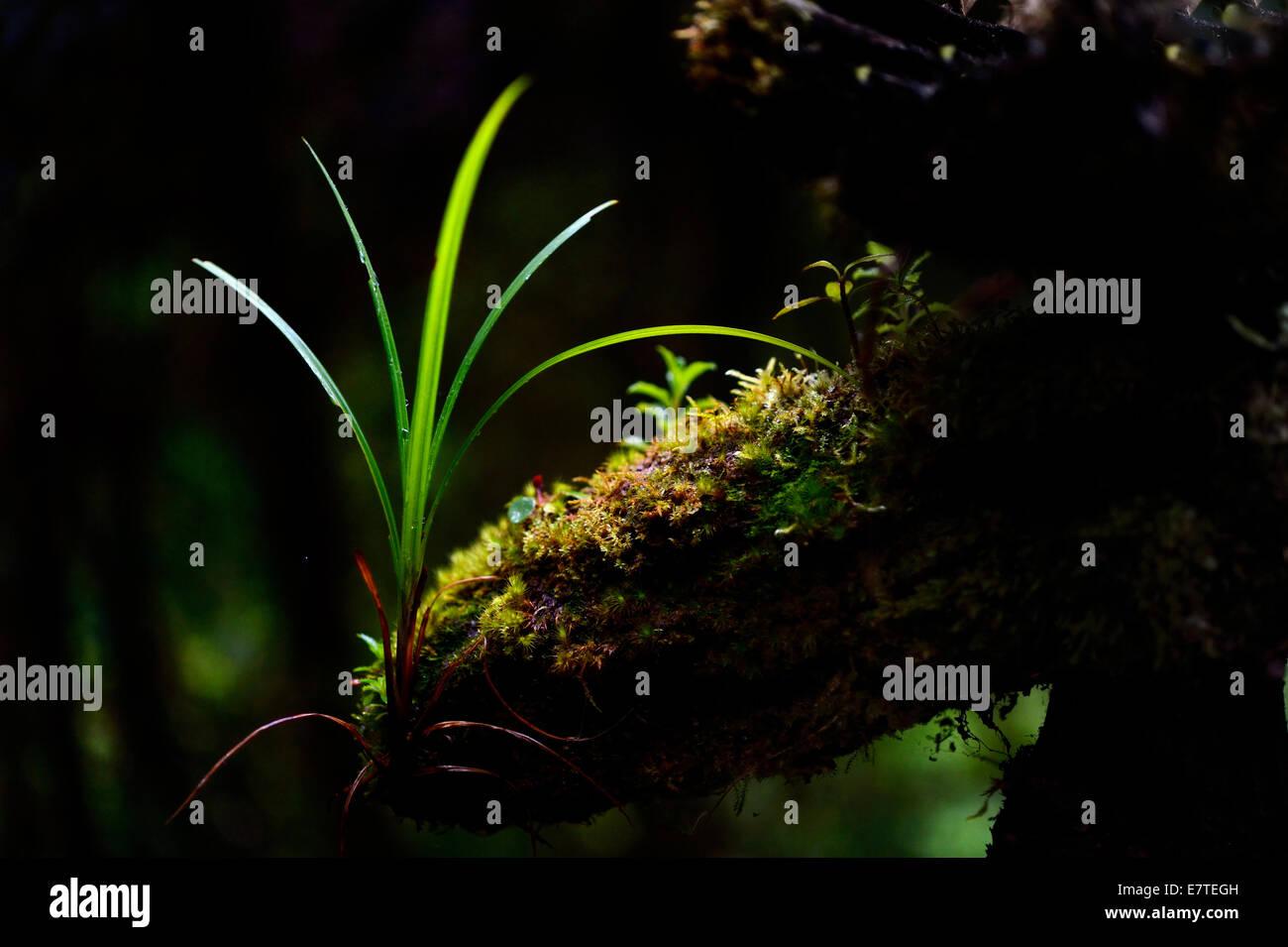 Kleine Pflanzen in einem Patch des Lichts, Guandera, nördliche Ecuador, Ecuador Stockbild