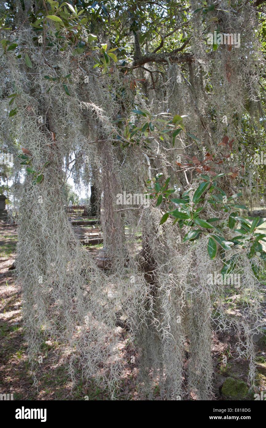 Spanisch moos tillandsia usneoides auf einem baum - Baum auf spanisch ...