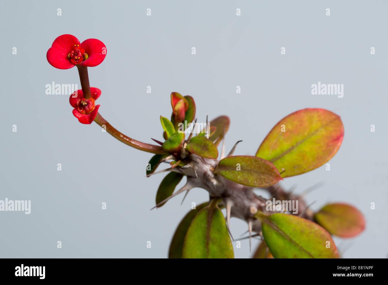 Euphorbia stockfotos euphorbia bilder seite 2 alamy - Wolfsmilch zimmerpflanze ...