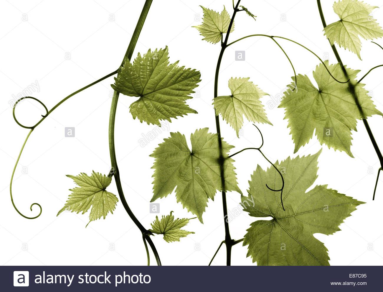 Frische Weinblätter auf weißem Hintergrund Stockbild