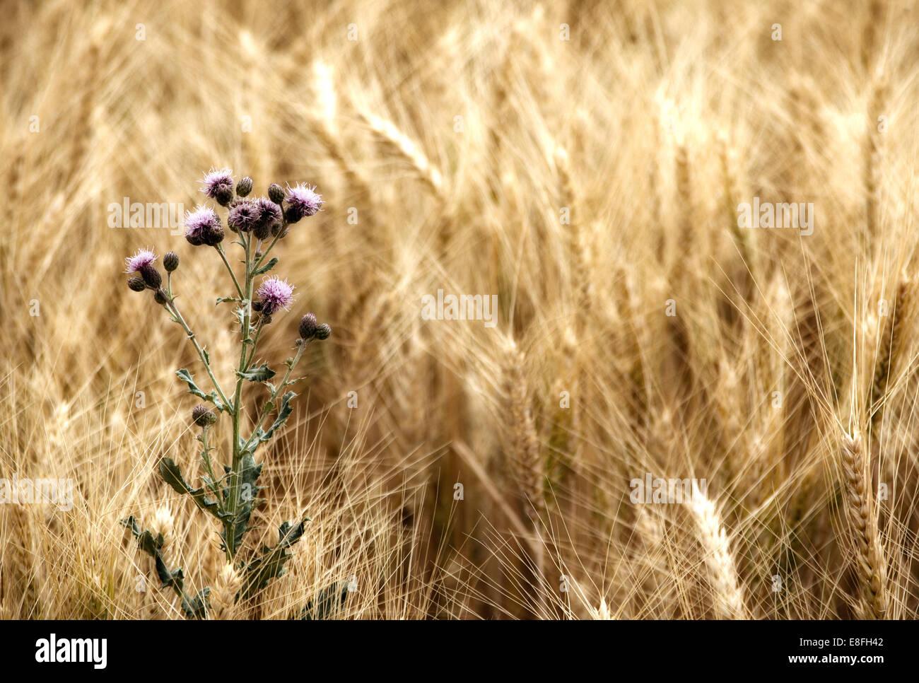 Distel im Weizenfeld Stockbild
