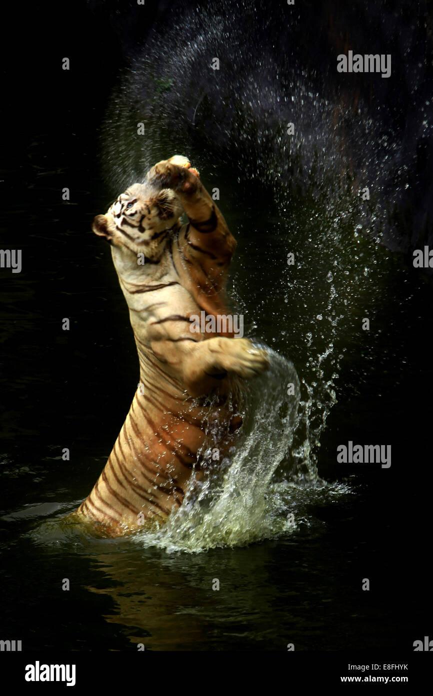Indonesien, Jakarta spezielle Hauptstadtregion, Jakarta, Tiger spritzt Wasser Stockbild