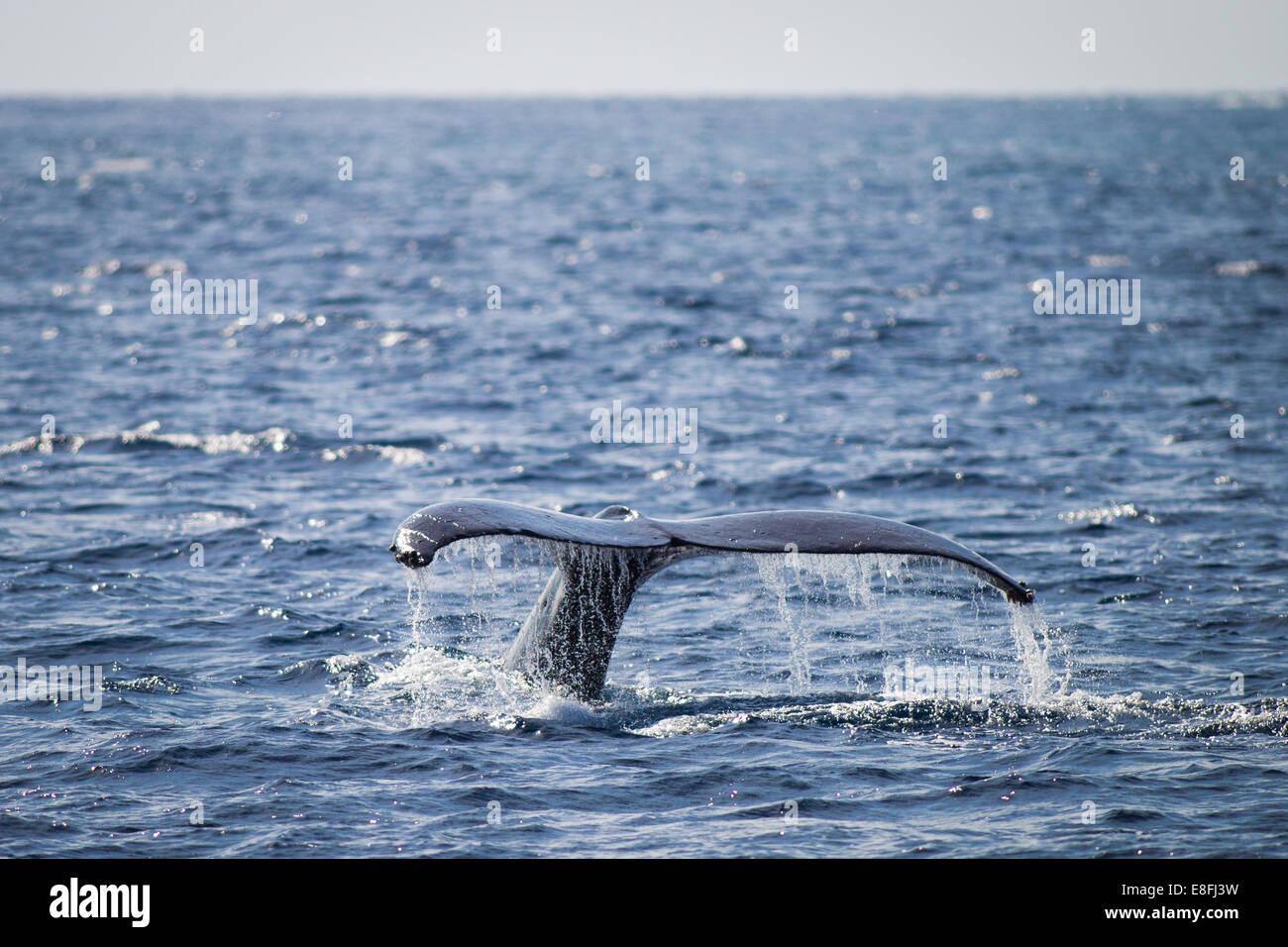 Whale Tail plantschen, Okinawa, Japan Stockbild