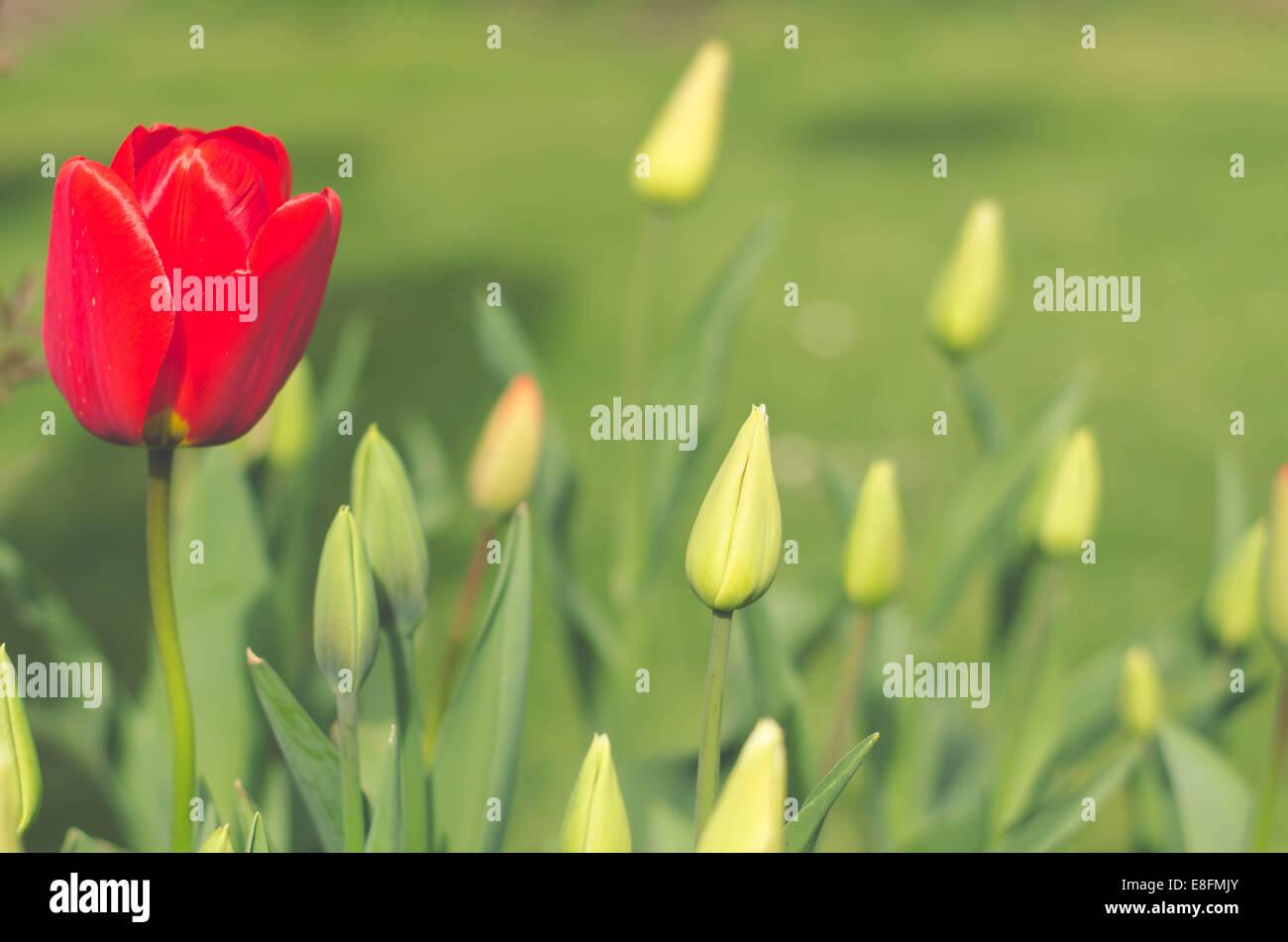 Rote Tulpe Blume Stockbild