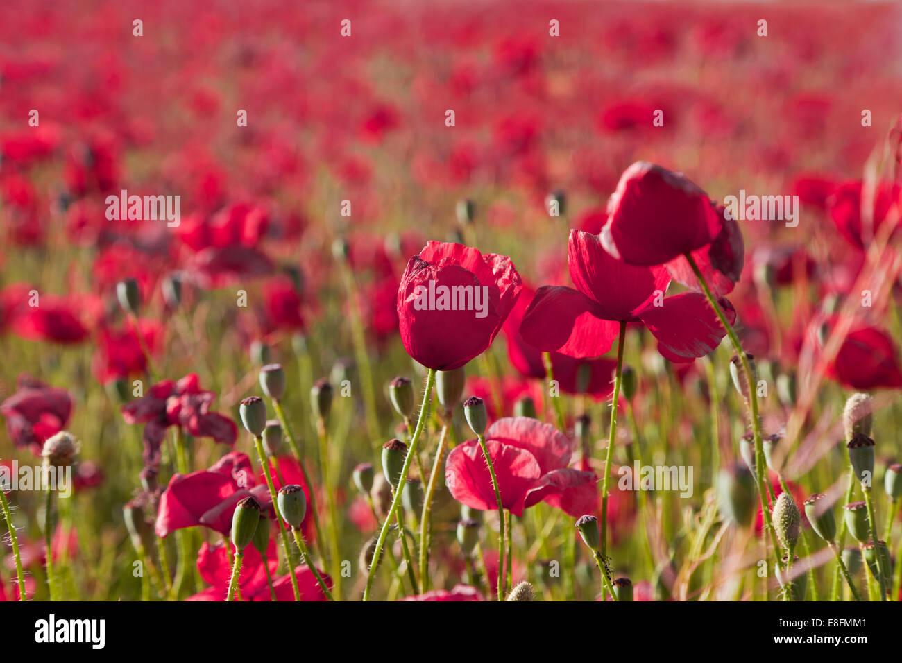 Nahaufnahme von roten Mohnfeld, Andalusien, Spanien Stockbild
