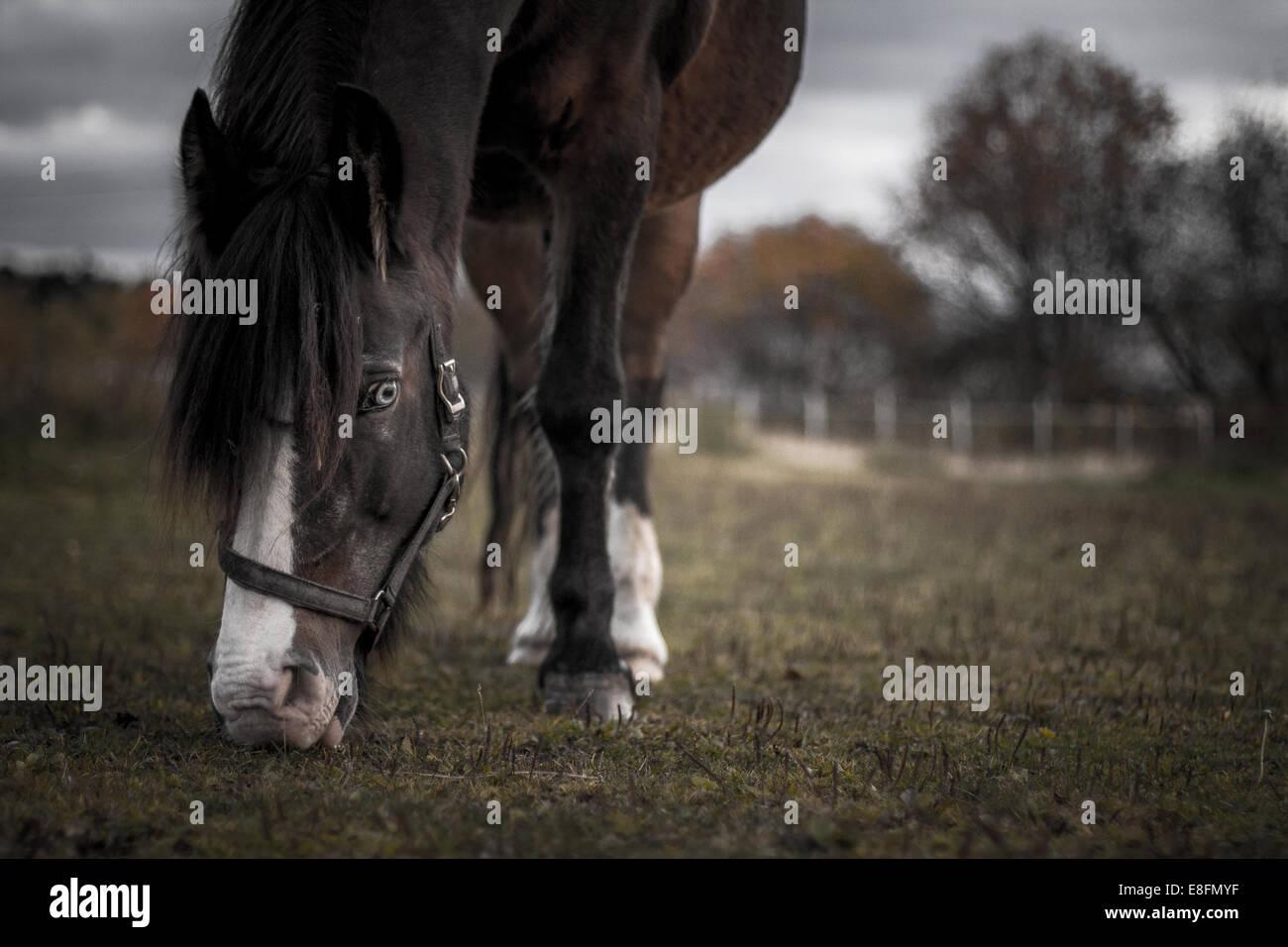 Norwegen, Pferd auf der Weide grasen Stockbild