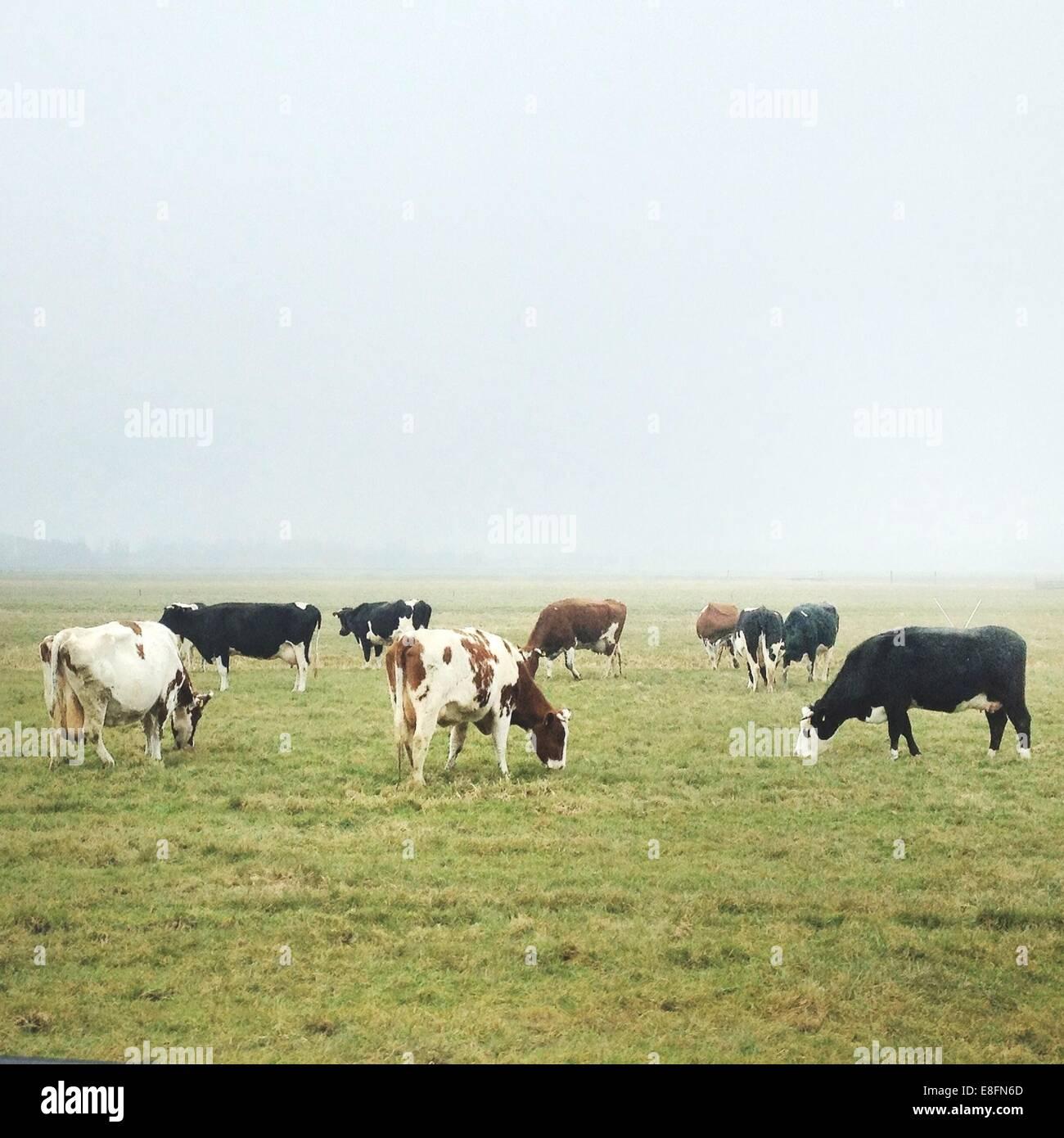 Herde der Kühe auf der Weide Stockbild