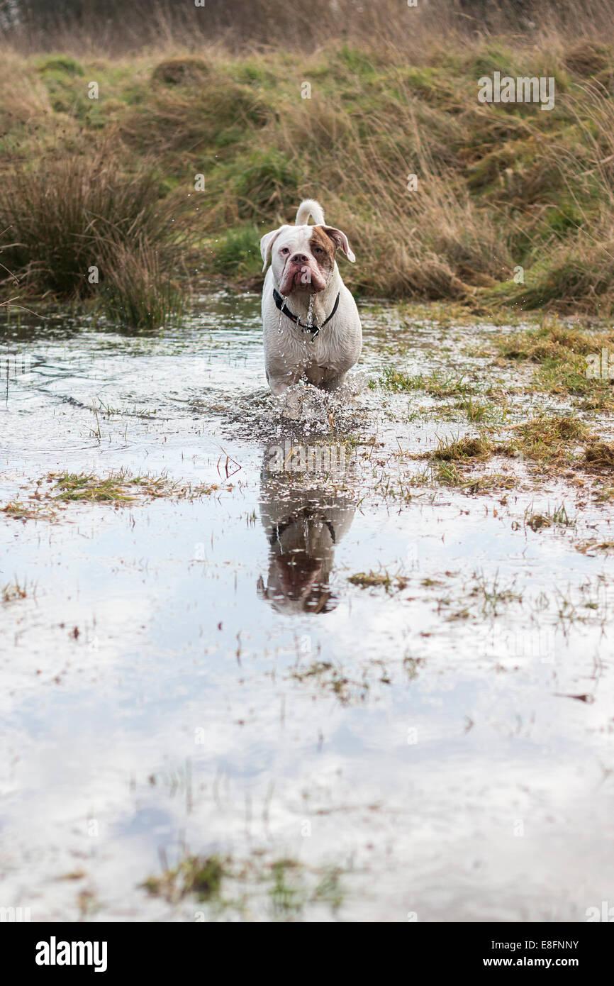 Großbritannien, England, Midlands, Staffordshire, Stein, Bulldogge stehend im Teich Stockbild