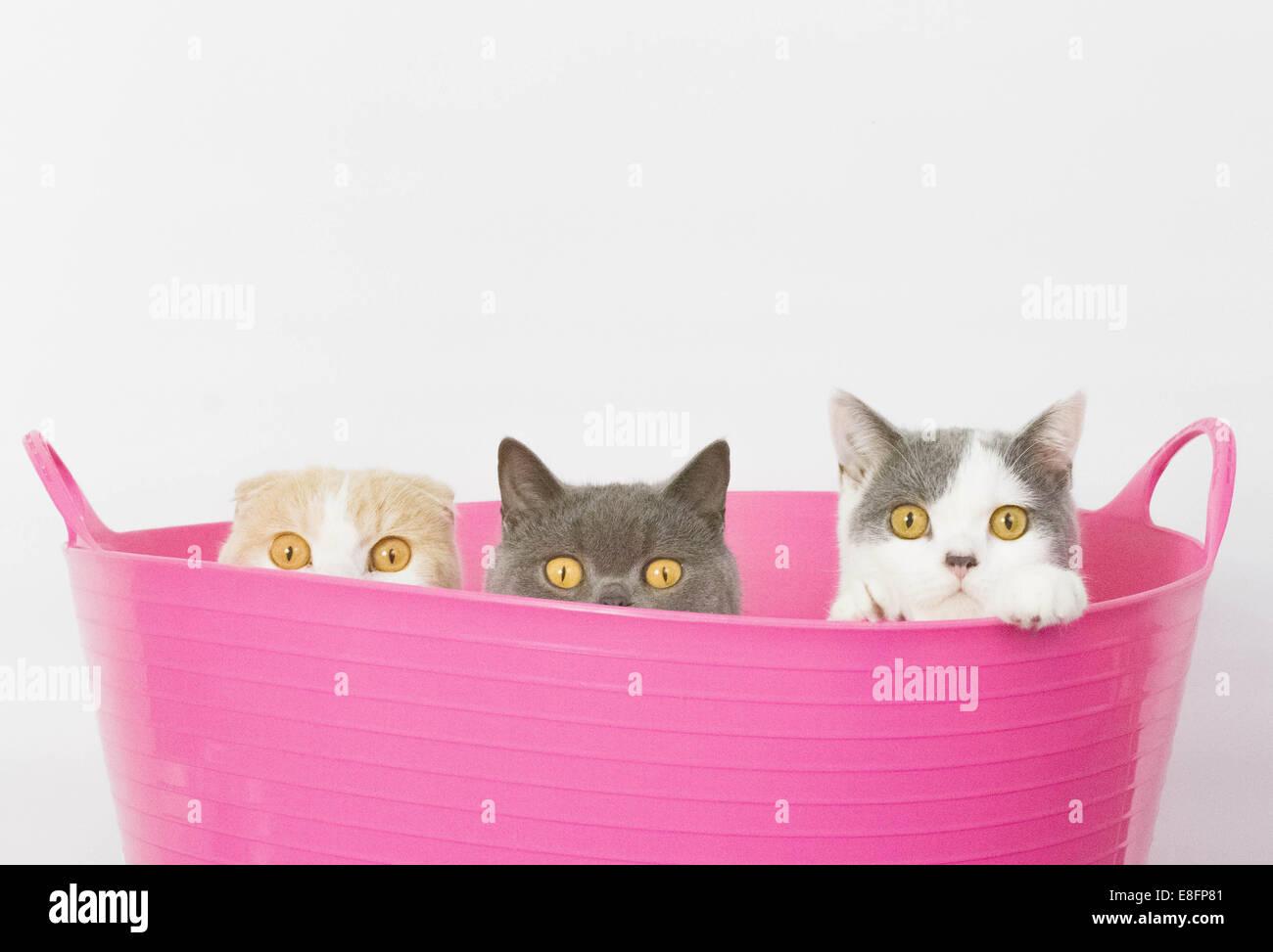 Drei Katzen sitzen in rosa Eimer Stockbild