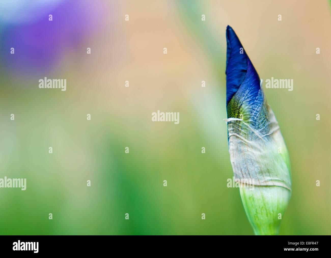 Nahaufnahme von Iris Blume, Indiana, America, USA Stockbild
