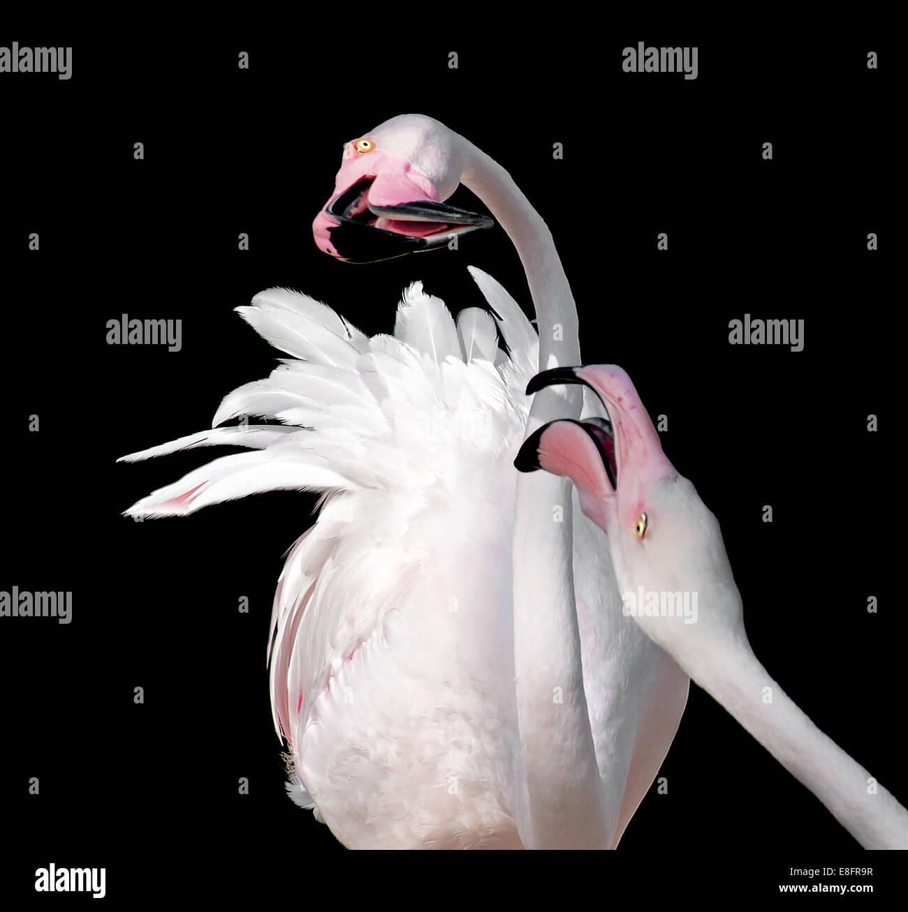 Zwei Flamingos (Phoenicopteridae) auf schwarzem Hintergrund Stockbild