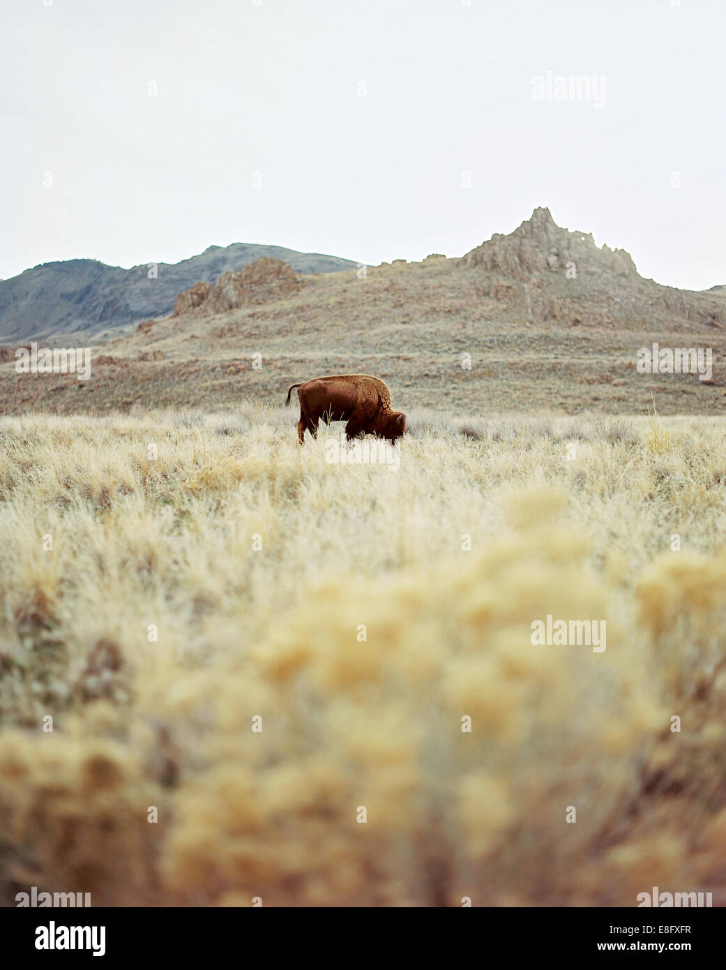 USA, Utah, einsame Büffel grasen auf Rasen Stockbild
