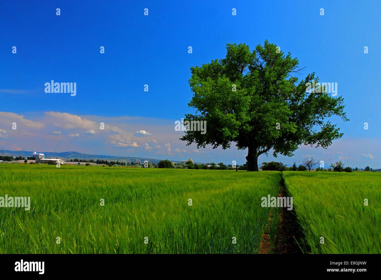 USA, Idaho, Bonneville County, Idaho Falls, Baum im Acker am Sommertag Stockbild