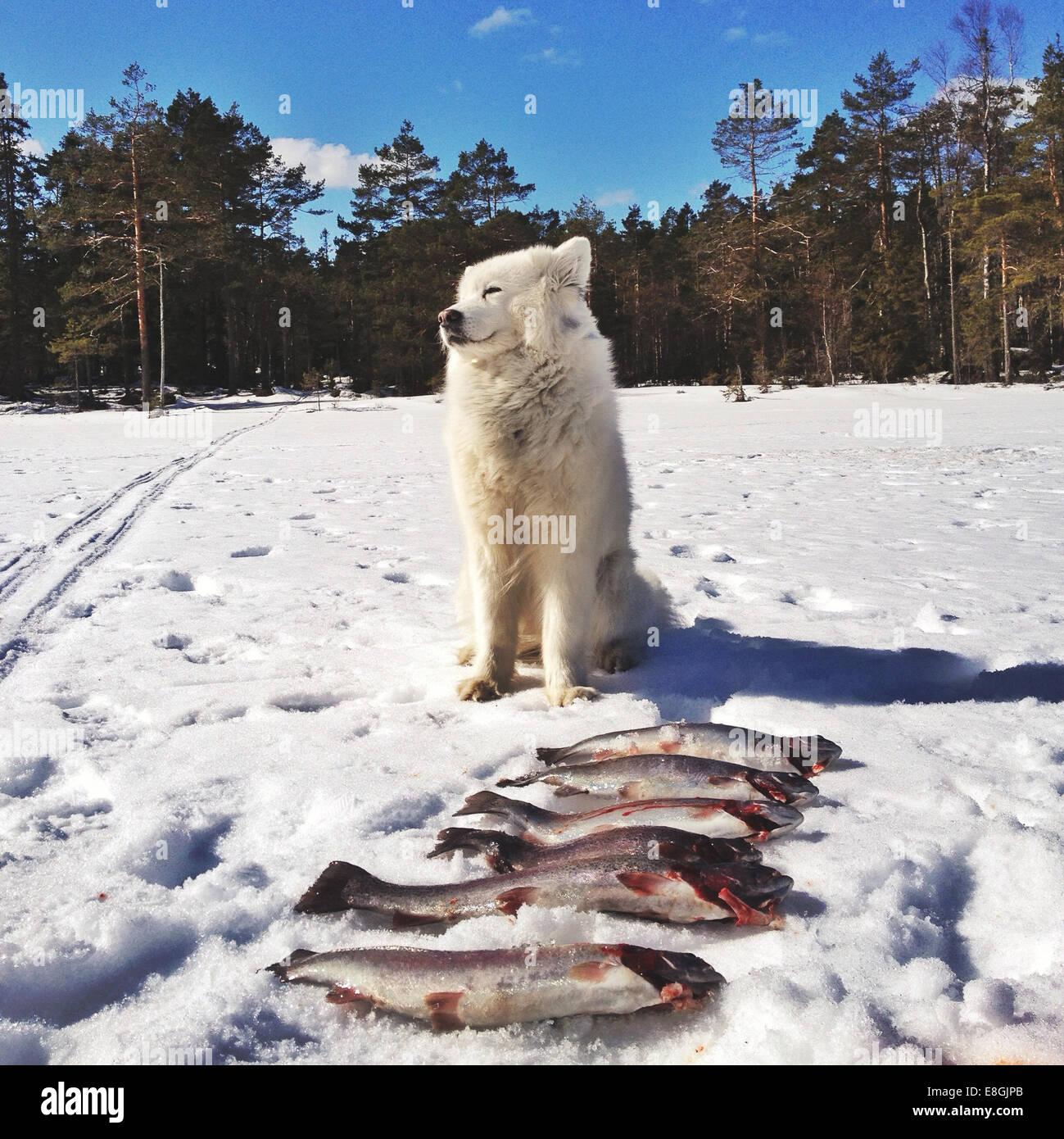 Hund wacht über Fischen fangen, Schweden Stockbild