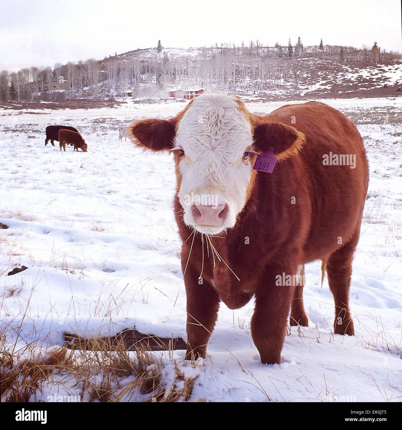 Kuh stehend im Feld im Schnee, Springdale, Utah, Amerika, USA Stockbild