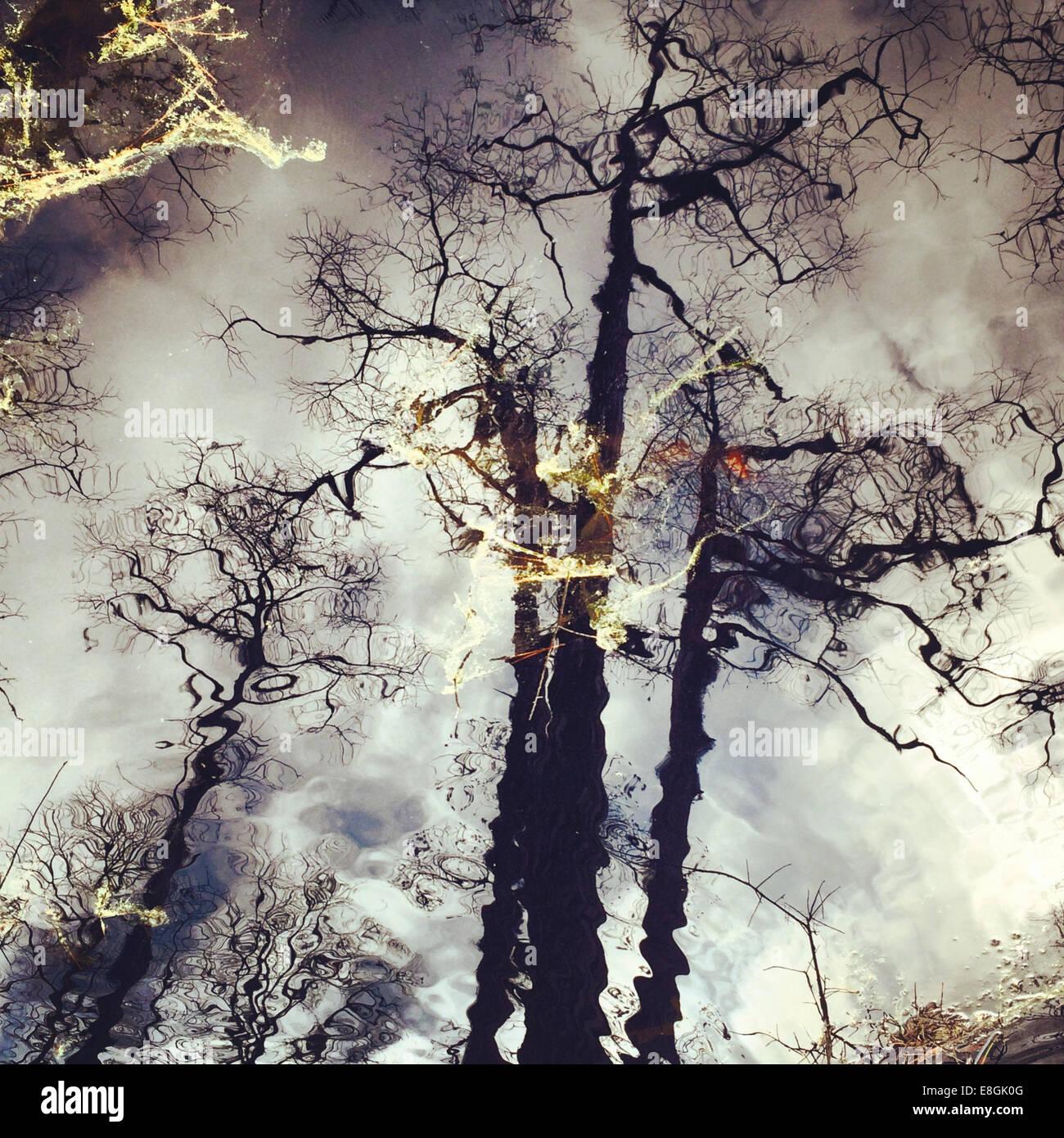 Reflexion von Kiefern, America, USA Stockbild