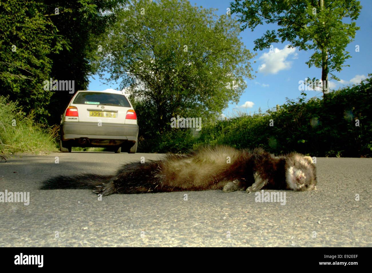 Iltis Straße Unfall - Mustela putorius Stockbild
