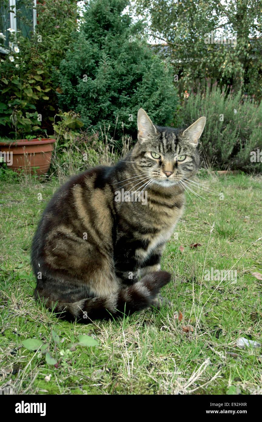 Tabby Katze - Felis Silvestris catus Stockbild