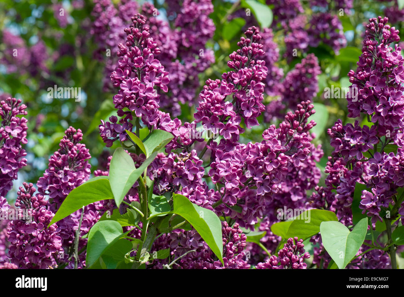 syringa vulgaris stockfotos syringa vulgaris bilder alamy. Black Bedroom Furniture Sets. Home Design Ideas